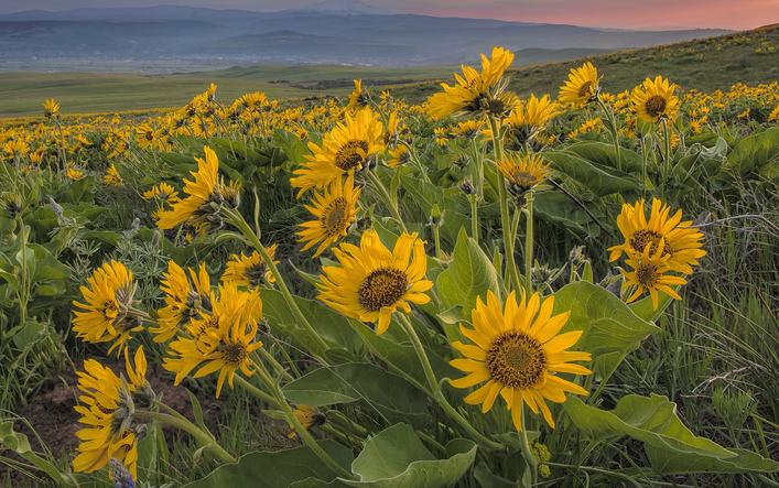 flowers arrowleaf balsamroot