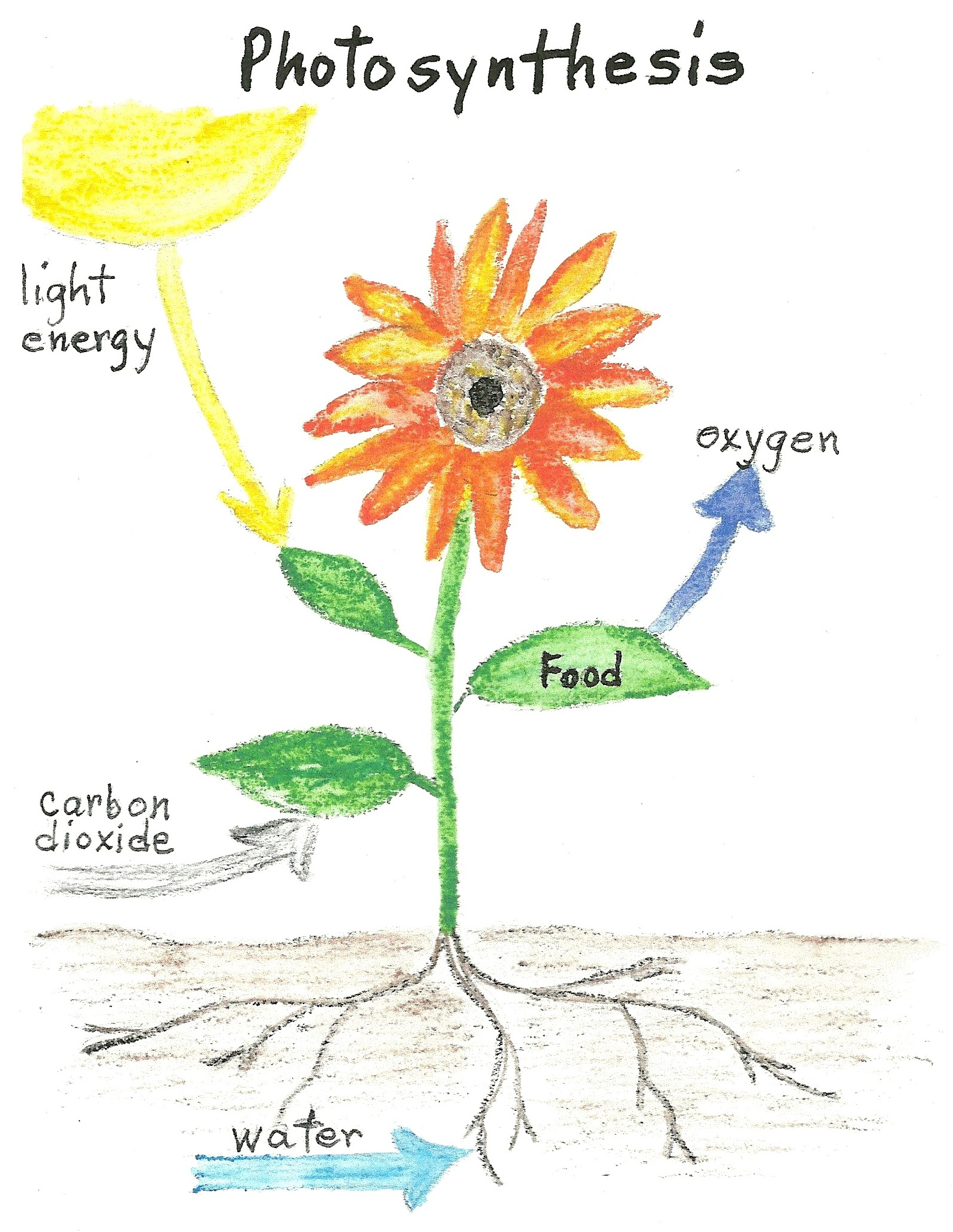 Diagram Of A Sunflower For Kids - Library Of Wiring Diagram •