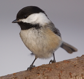 bird black capped chickadee small