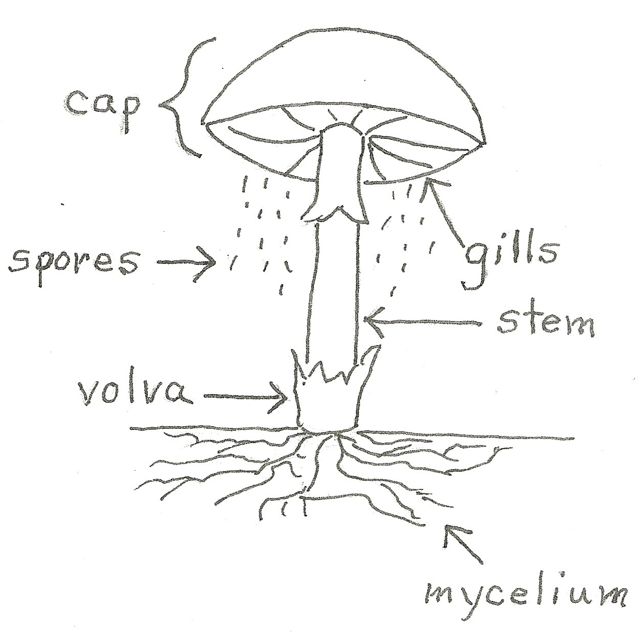 What are mycelium   Example