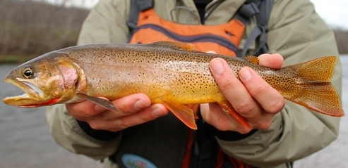 cutthroat trout new