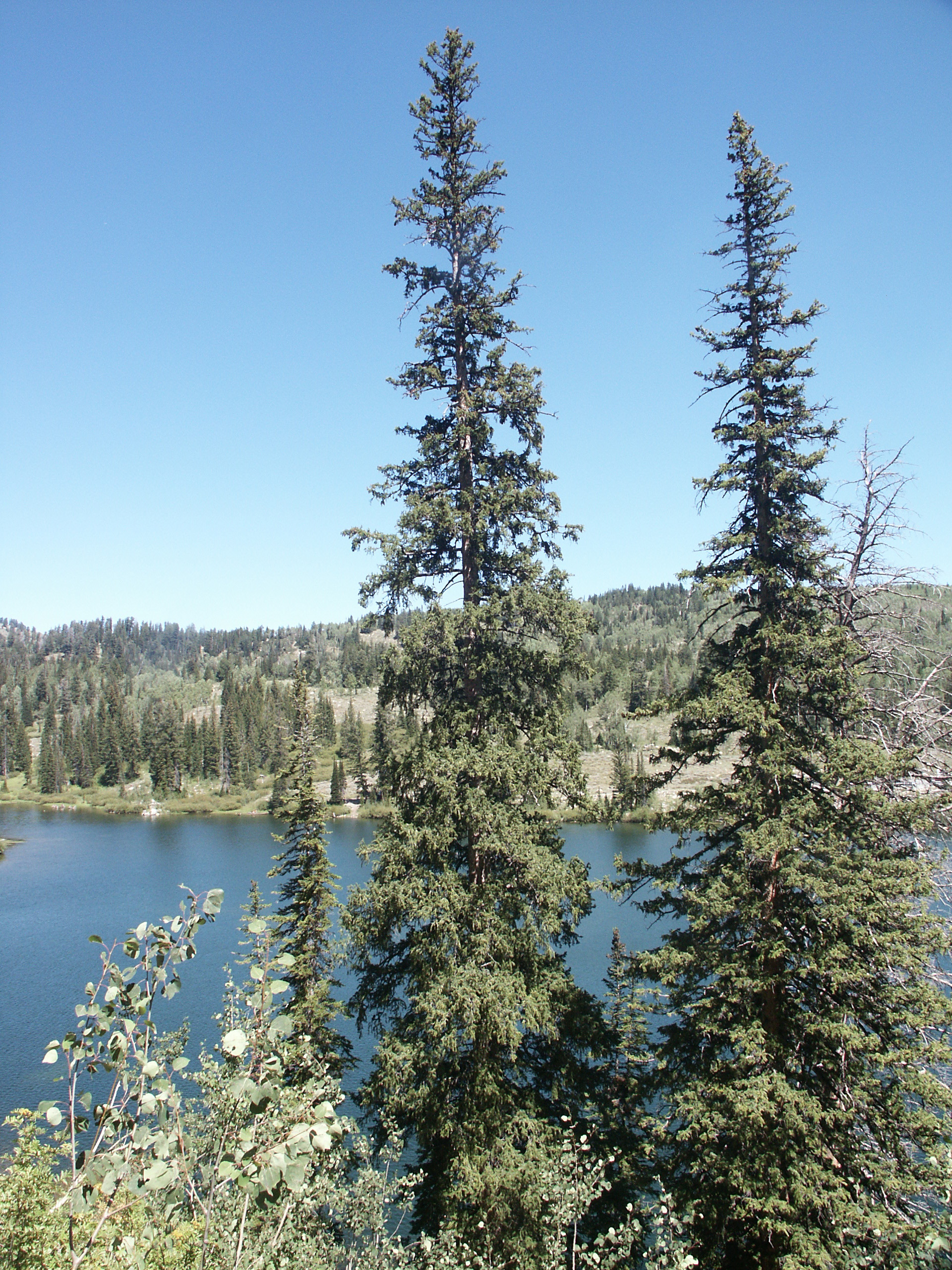 why are there conifer trees in the mountains jake u0027s nature