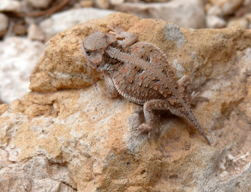 amphibians horned toad