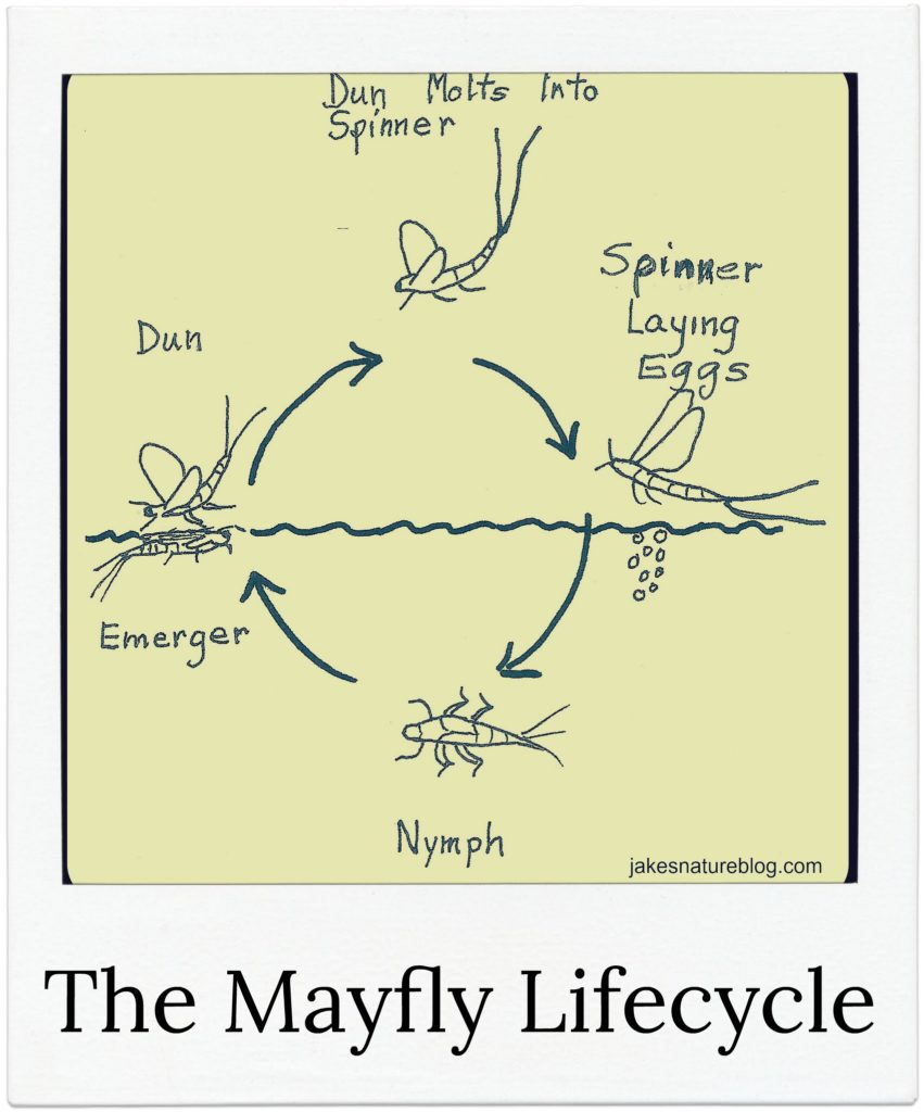 House fly life cycle diagram the best house of 2018 the honey bee life cycle ccuart Image collections